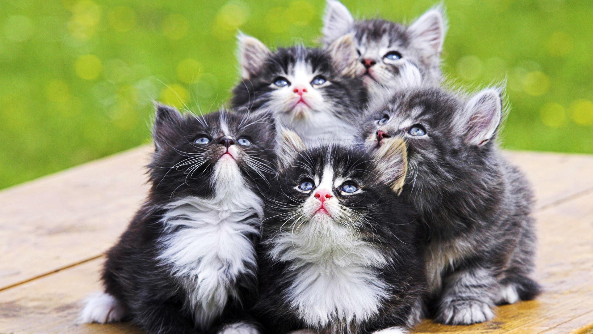 что такое инбридинг у кошек
