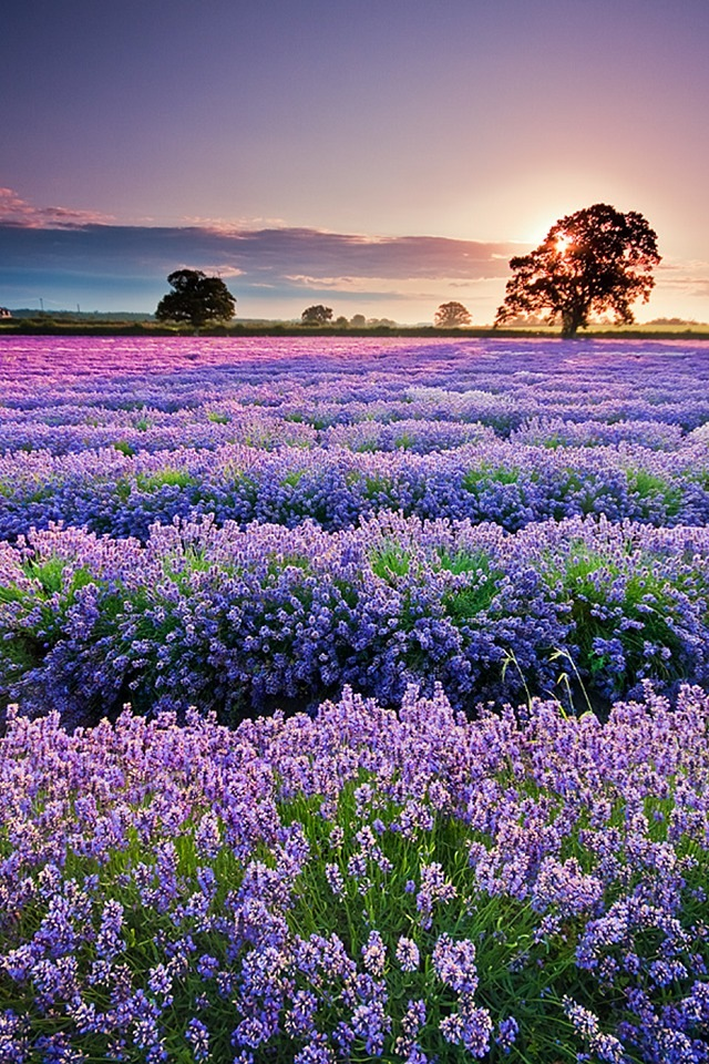 Lavender in Provence iPhone 4s Wallpapers Download 640x960