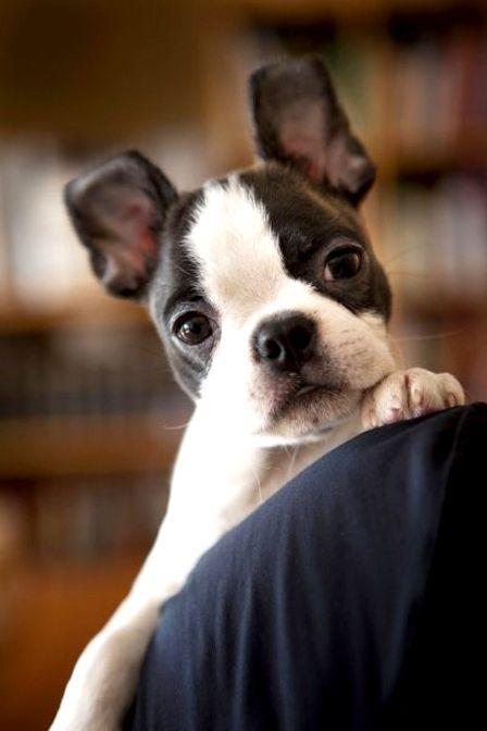 Boston Terrier Wallpaper Hd Wallpapersafari