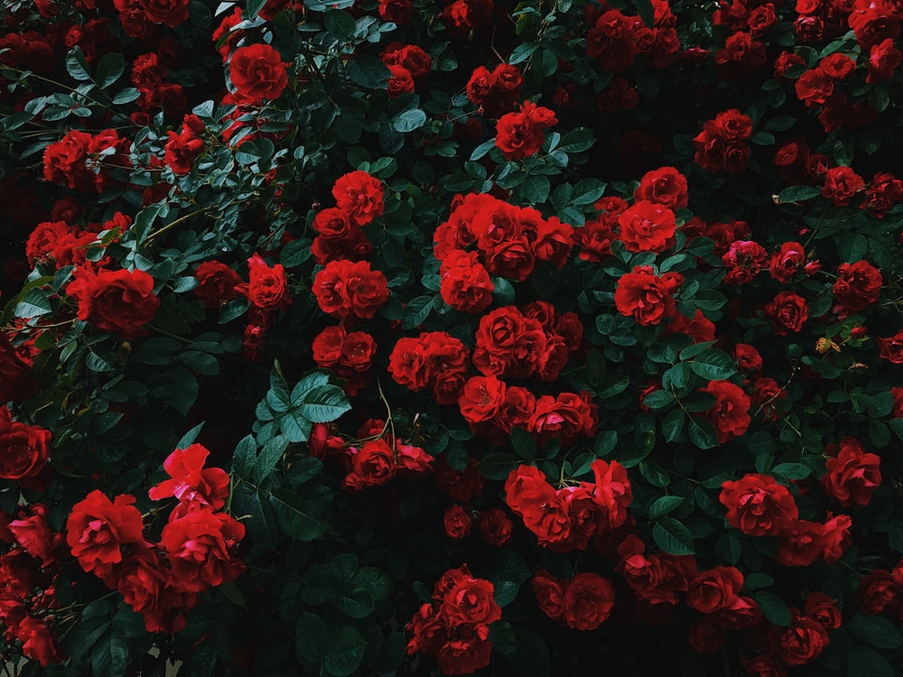 bed of red roses in bloom photo Flower Image on Unsplash 1000x750