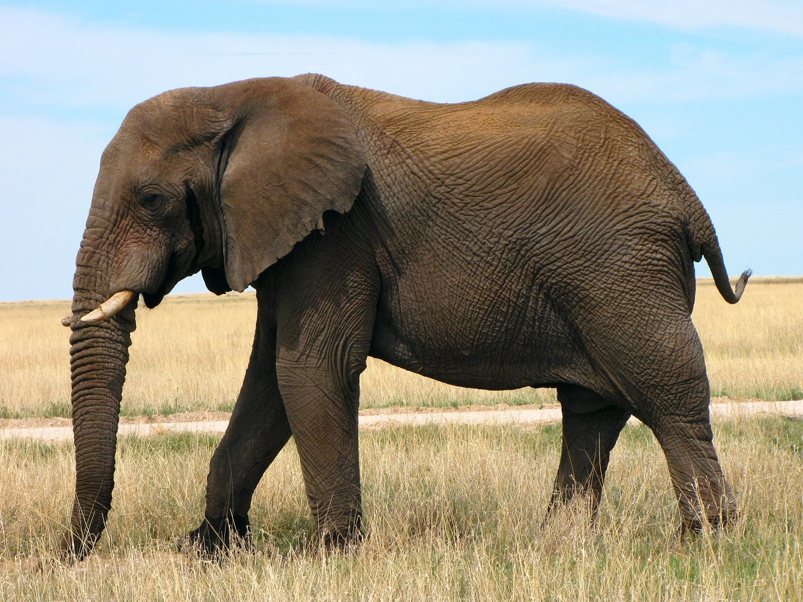 Free Download African Bush Elephant Pictures Pics Photos