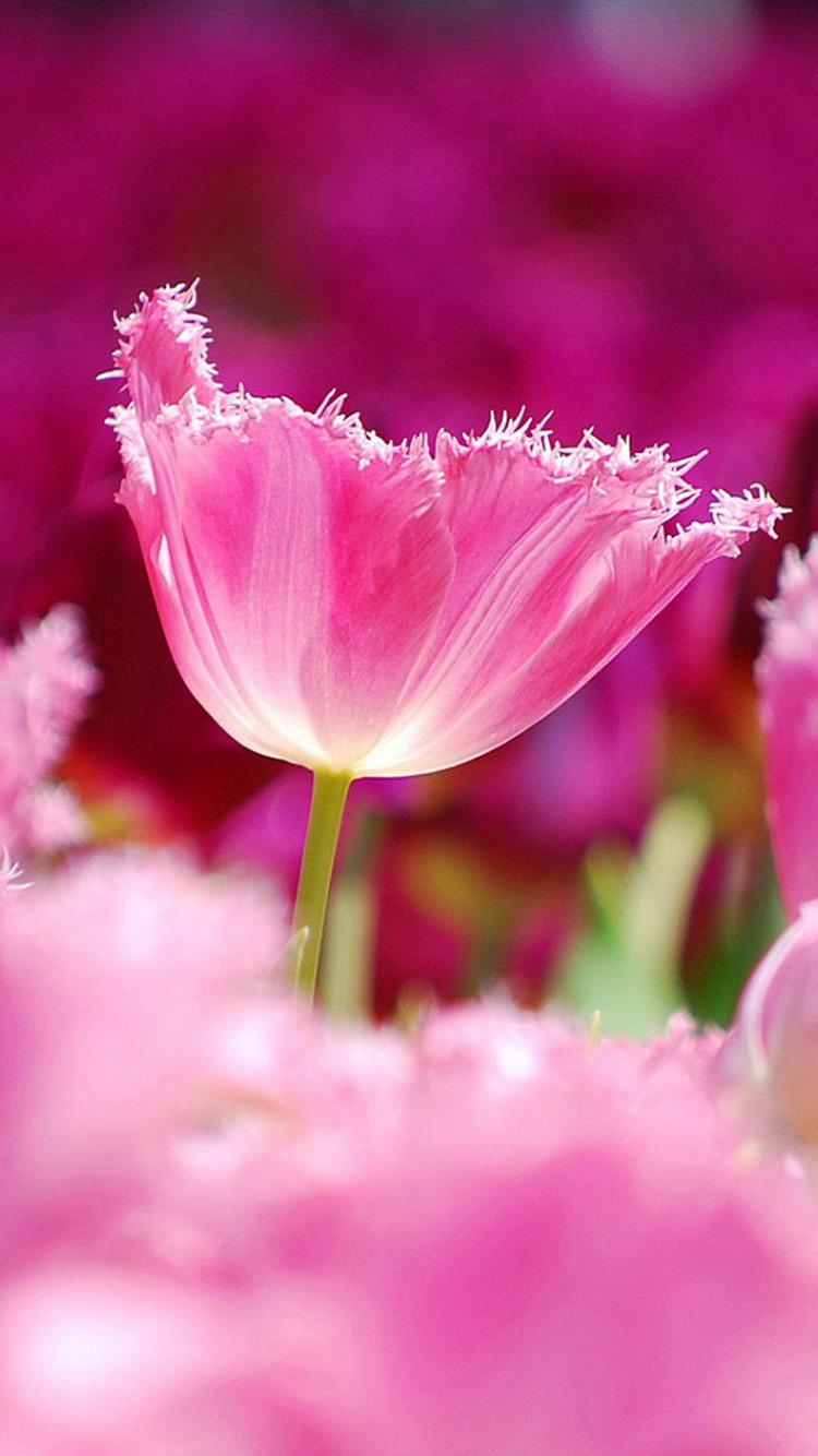 Pink Tulips Wallpaper Iphone Tulip Pink Flowers Iphone 6 750x1334