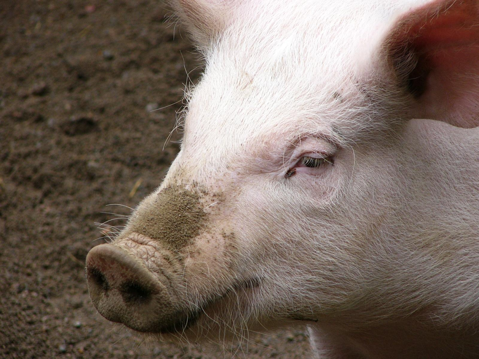 Pig Wallpapers Images and animals Pig pictures 712 1600x1200