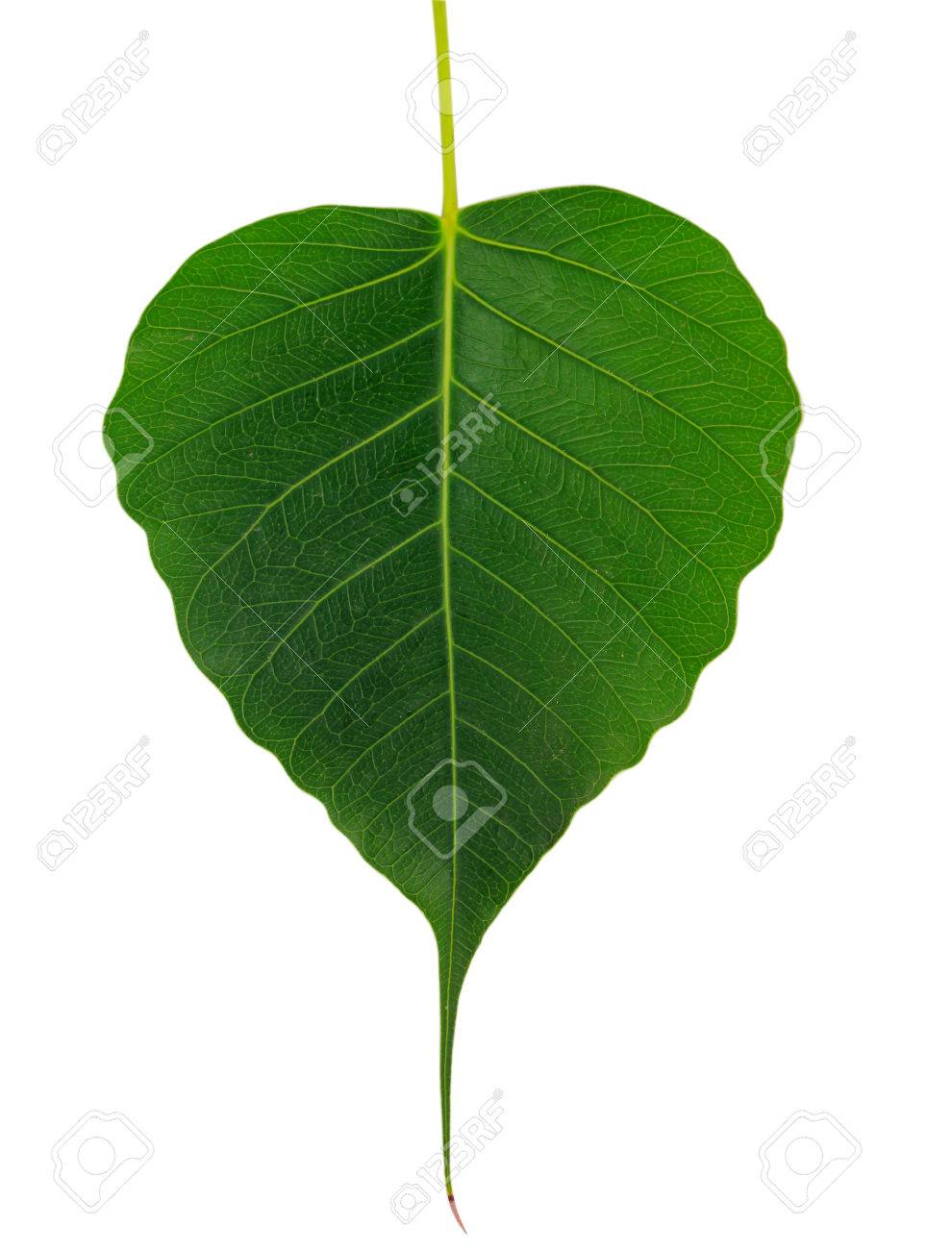Bo Leaf On White Background Stock Photo Picture And Royalty 990x1300