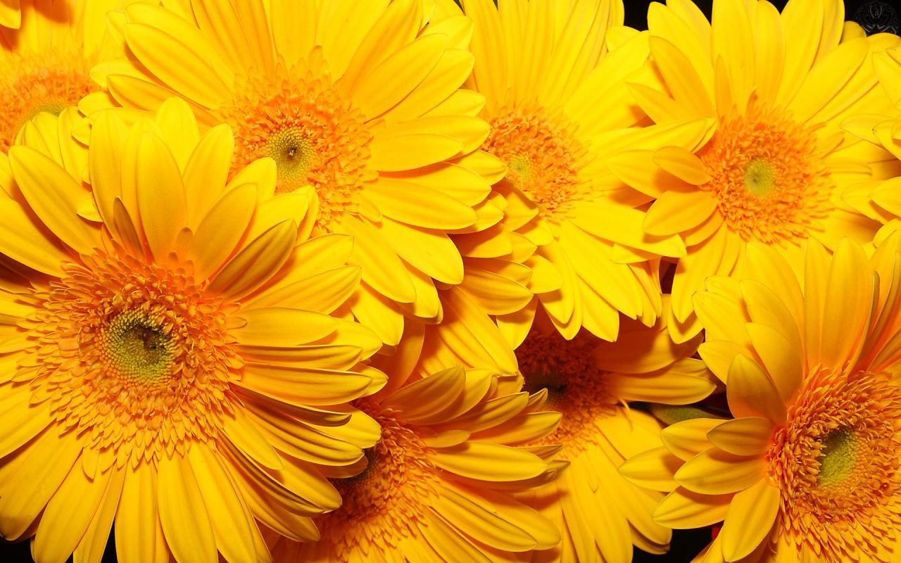 1280x800px yellow flowers wallpaper wallpapersafari yellow flowers wallpaper mightylinksfo