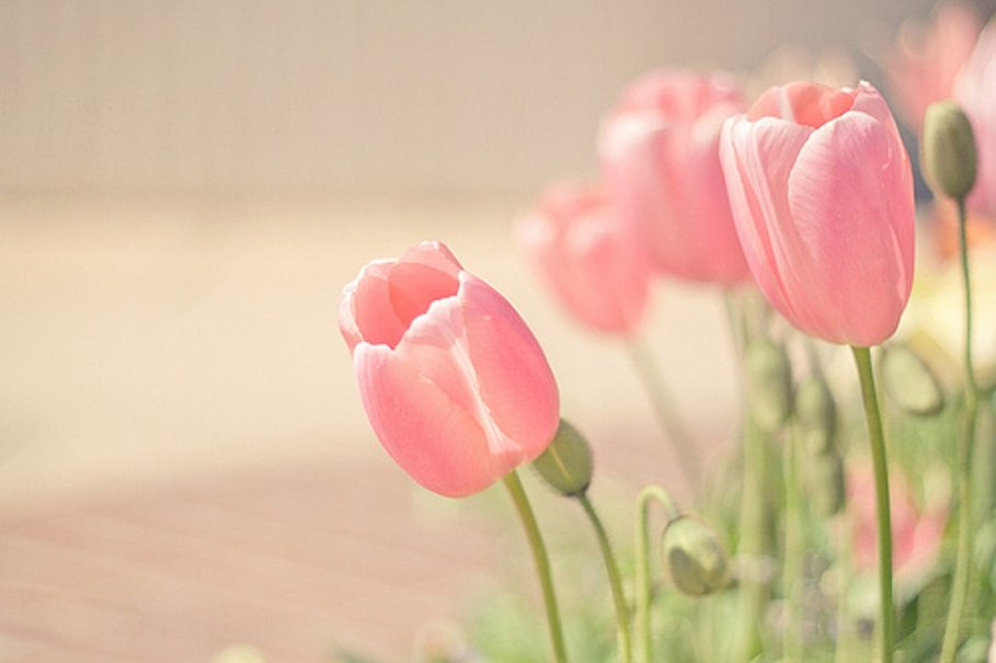 Pink Tulips Wallpaper  WallpaperSafari