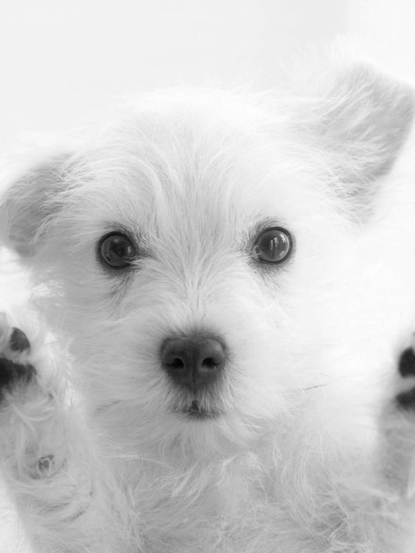 Download Little White Dog Says Hi Screensaver For Amazon Kindle 3 600x800