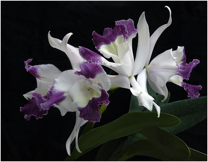 White Amp Purple Orchid Wallpaper White Amp Purple Orchid Desktop 700x546