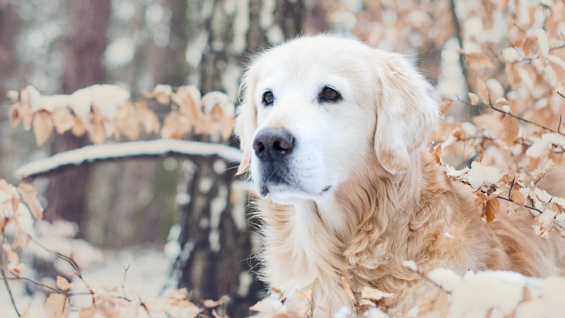 Wallpaper dog, muzzle, snow, winter, forest desktop wallpaper ...