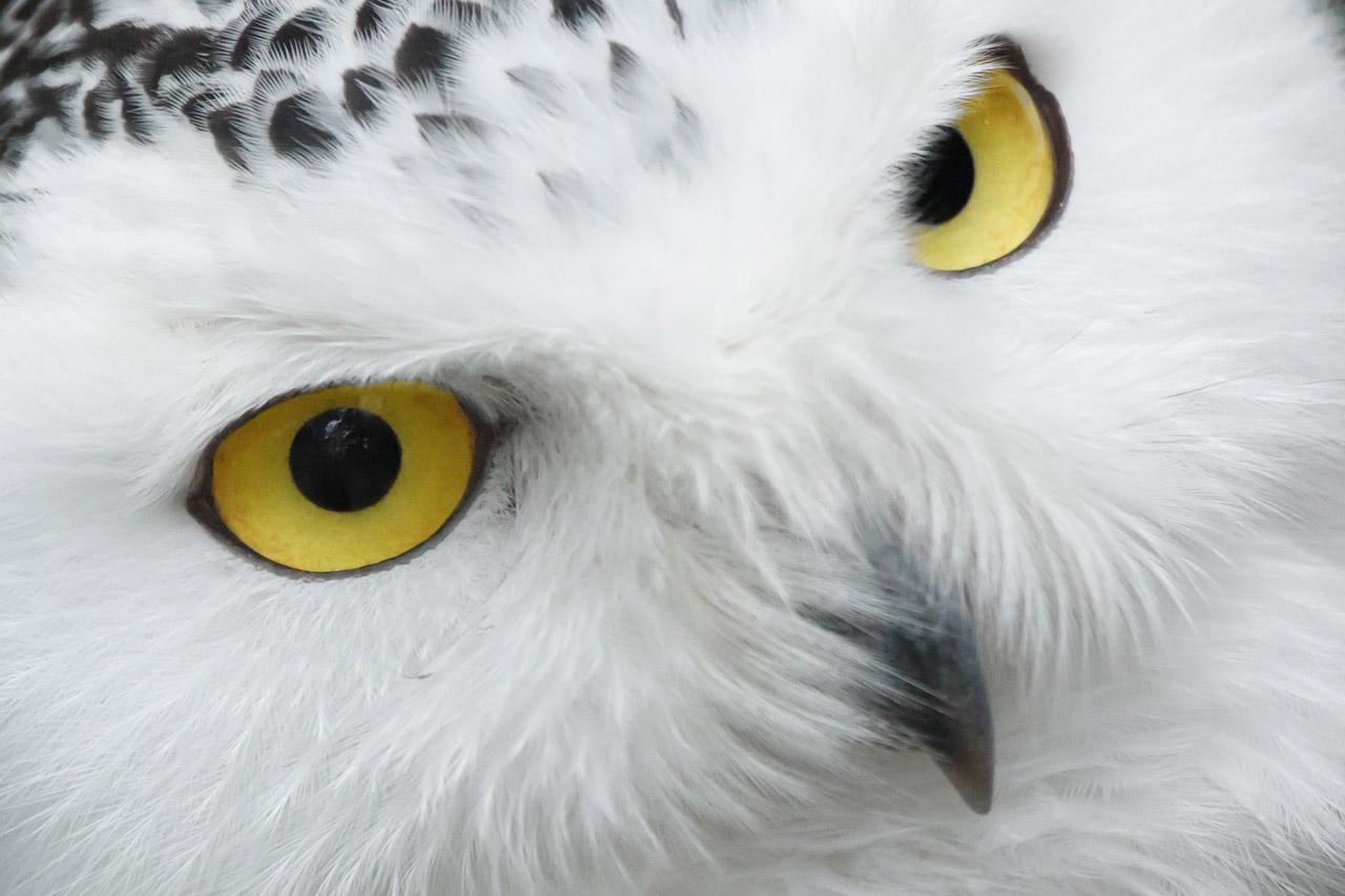 Snowy Owl Eyes Desktop Wallpaper HD Owls Owl Snowy Owl Snowy Owl 1280x853