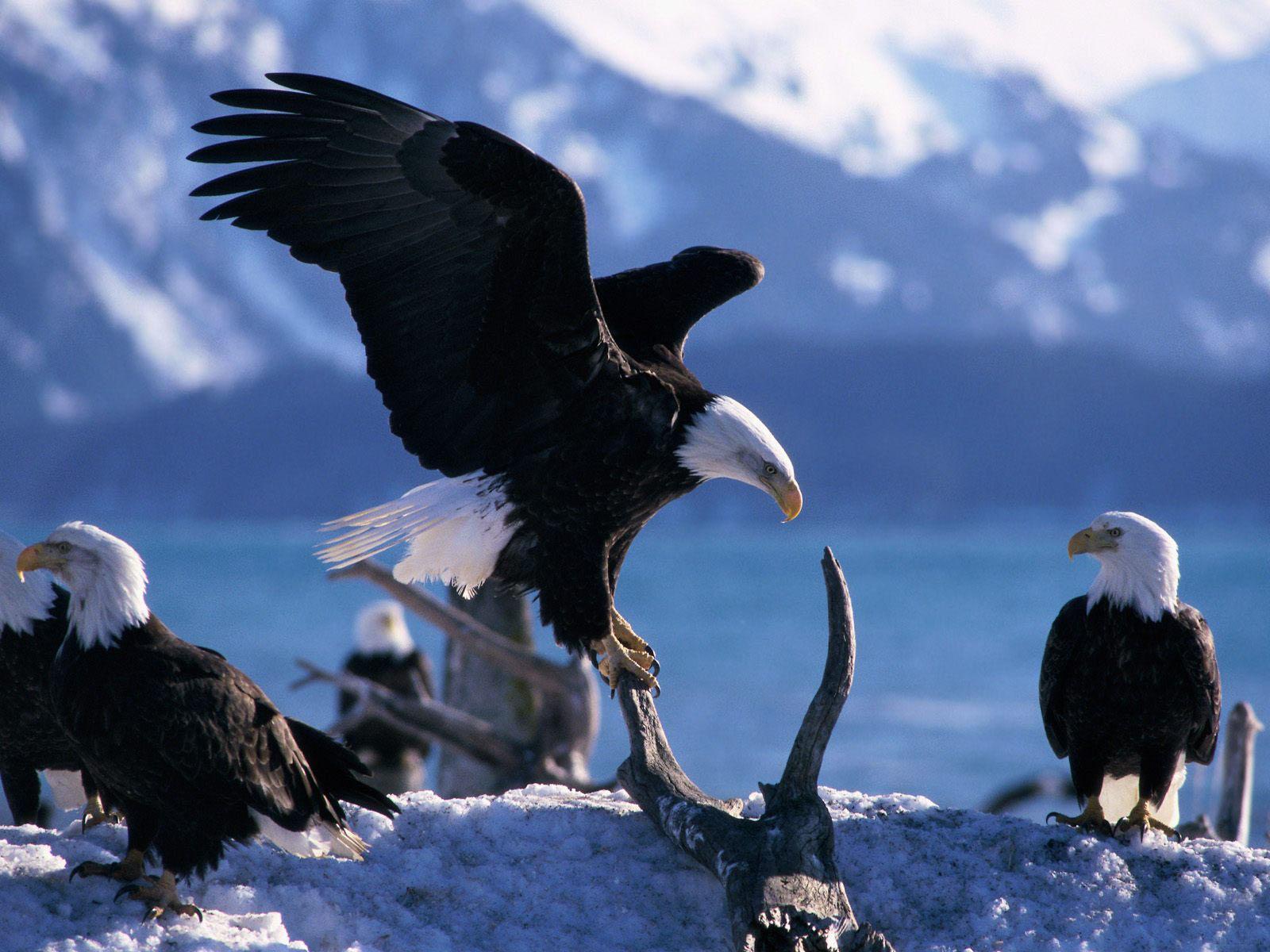 American Bald Eagle Habitat 1600x1200