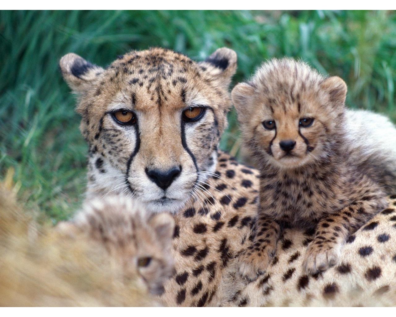 Cheetah Cub 1280 x 1024 Download Close 1280x1024