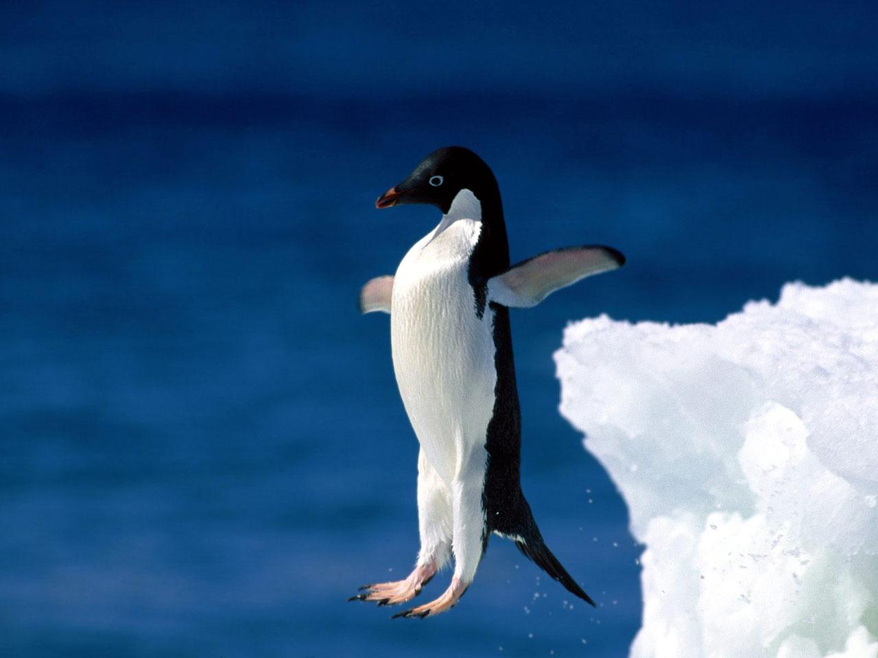 47] Moving Penguin Wallpapers on WallpaperSafari 1280x960