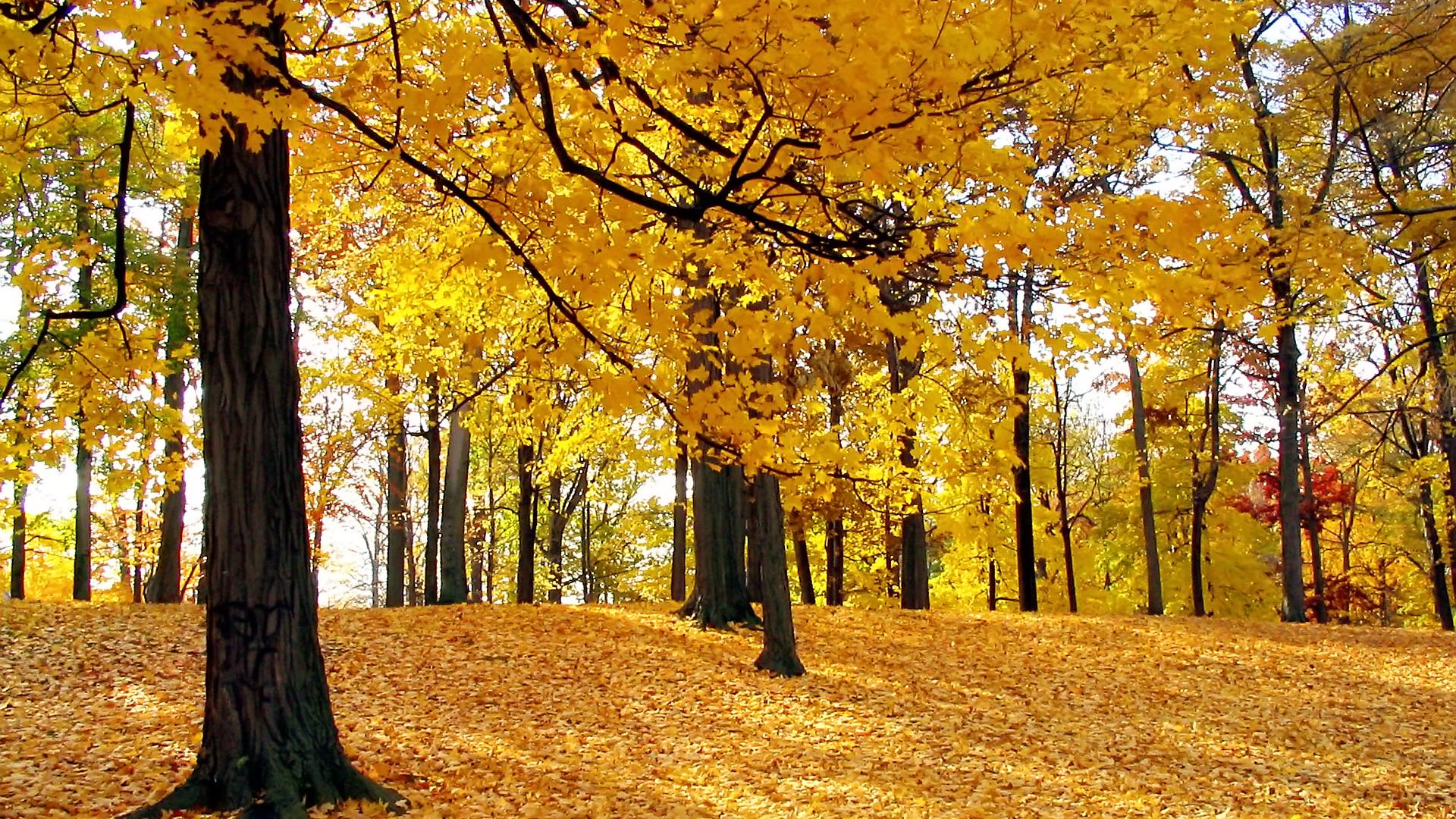 Autumn trees 1920 x 1080 Forest Photography MIRIADNACOM 1920x1080