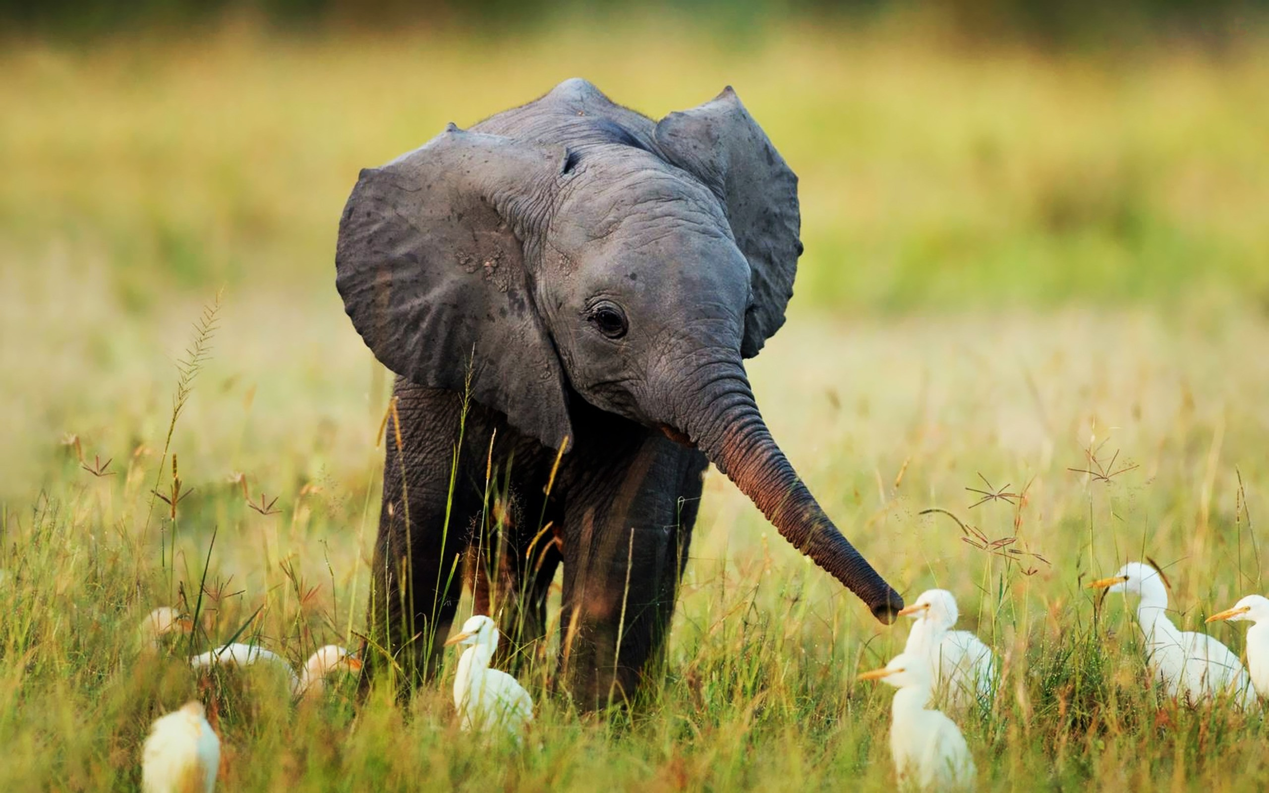 Nature Animals Cute Little Baby Elephant 69582 HD Wallpaper Res 2560x1600