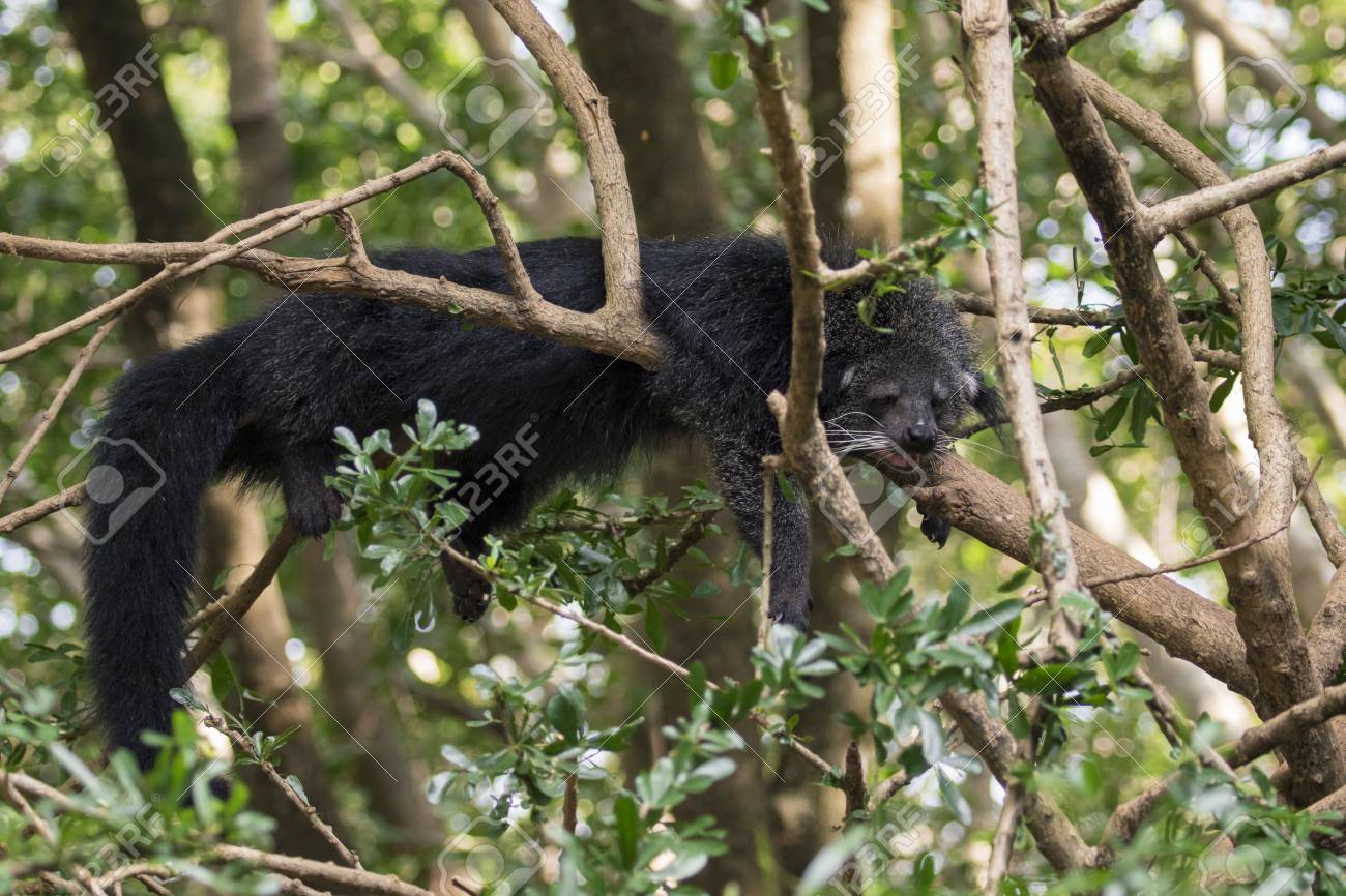 Image Of A Binturong Or Bearcat On The Tree On Nature Background 1300x866