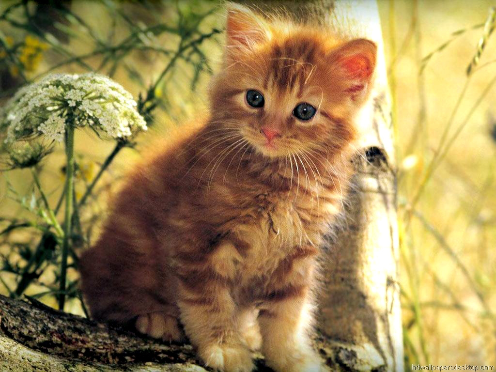 Desktop wallpaper cats and kittens wallpapersafari - Kitten backgrounds ...