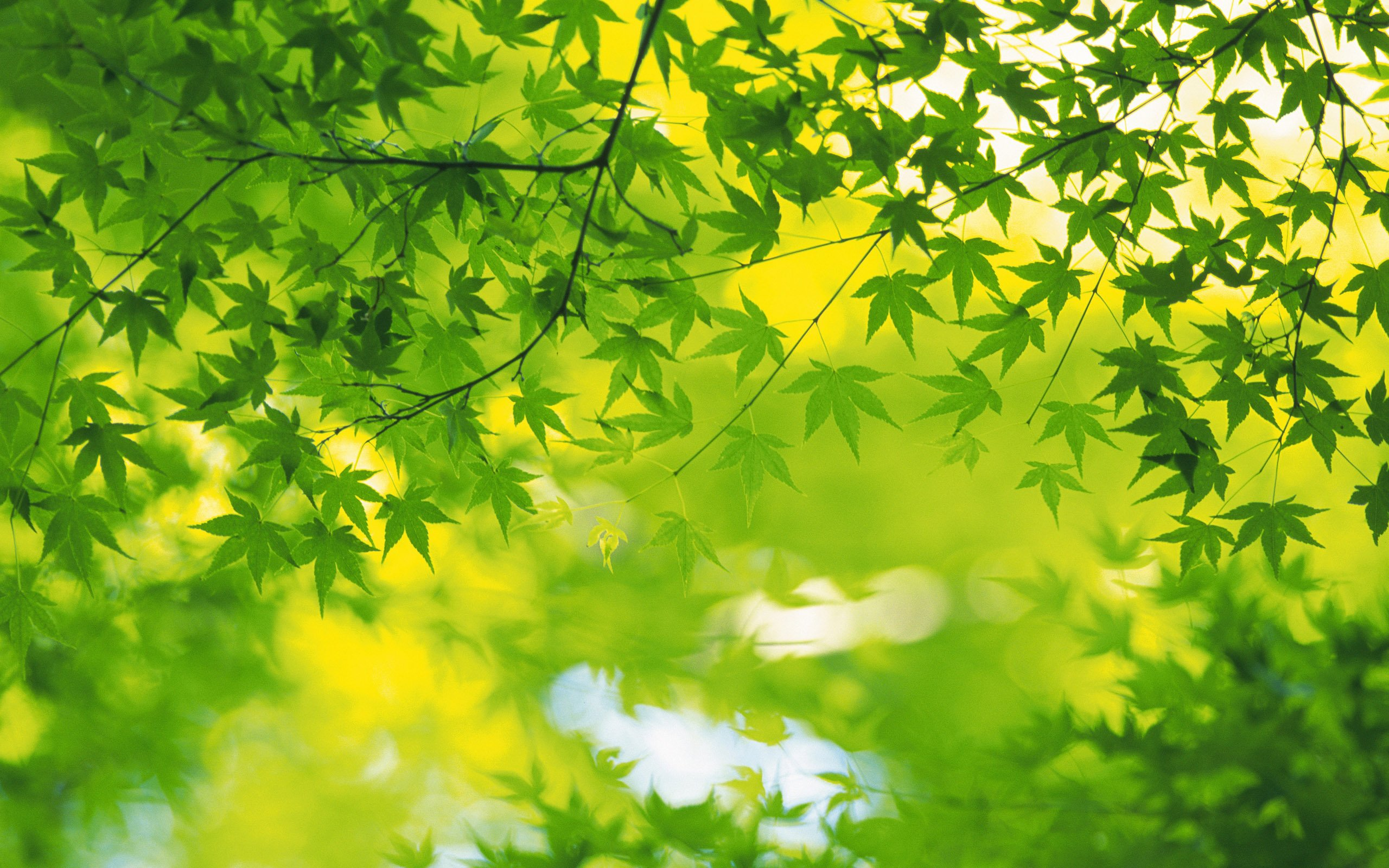 leaves Wallpapers 2560x1600 NO26 Desktop Wallpaper   Wallcoonet 2560x1600