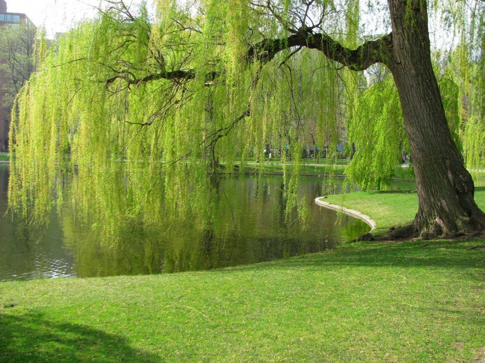 picturesoftreesorglarge96Weeping Willows Tree Pictures 6jpg 1000x750
