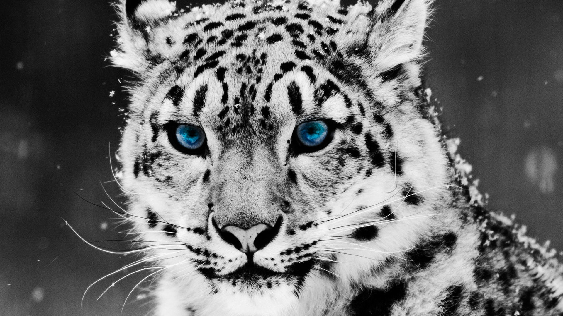 Cool Wallpapers White Tiger HD Wallpaper Cool Wallpapers White Tiger 1920x1080