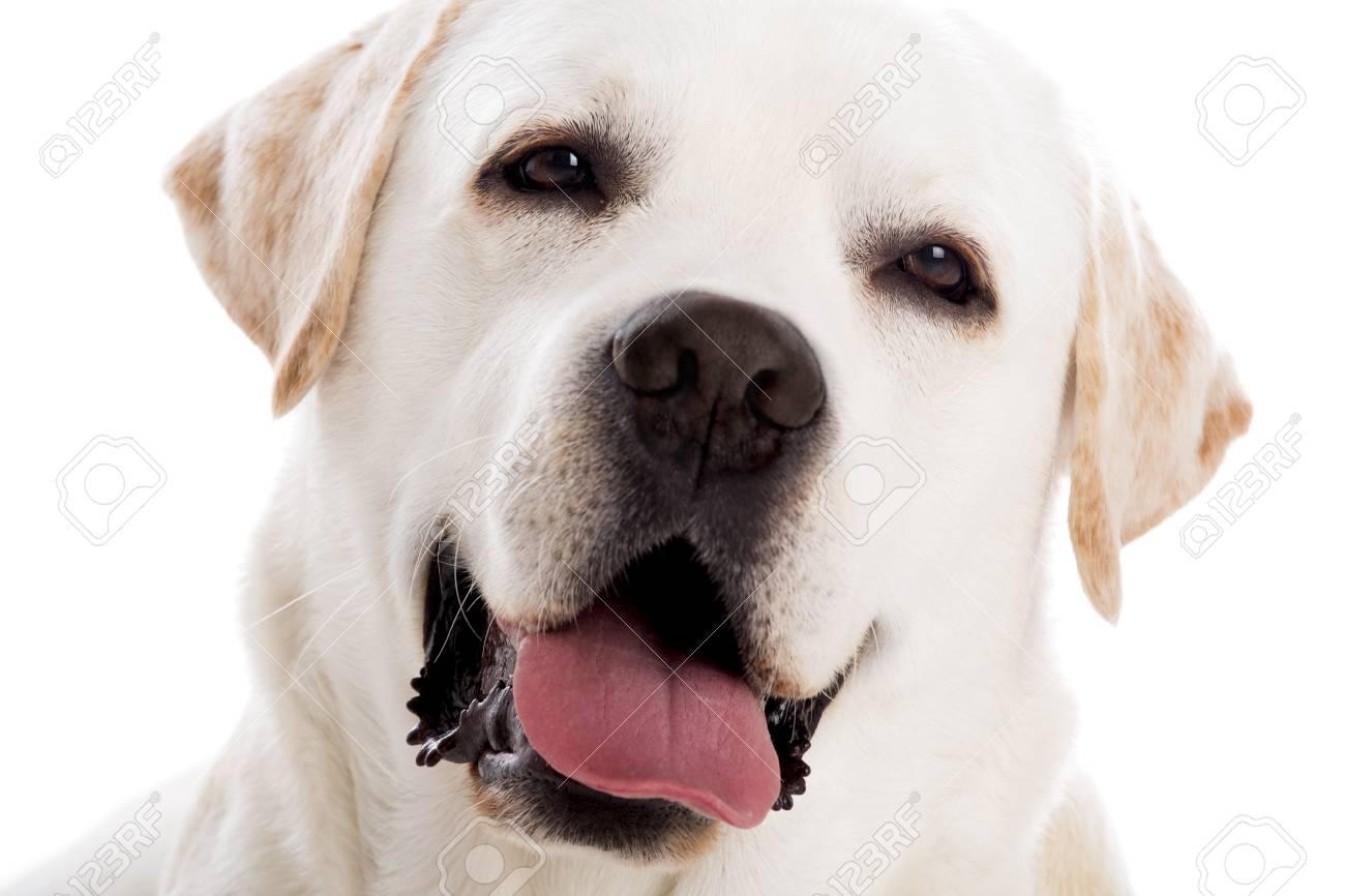 Close yp Portrait Of A Beautiful Labrador Retriever Breed 1300x866