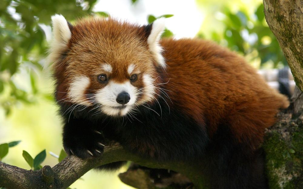 rosso cute red panda pictures panda wallpaper for bedrooms red panda 1000x625