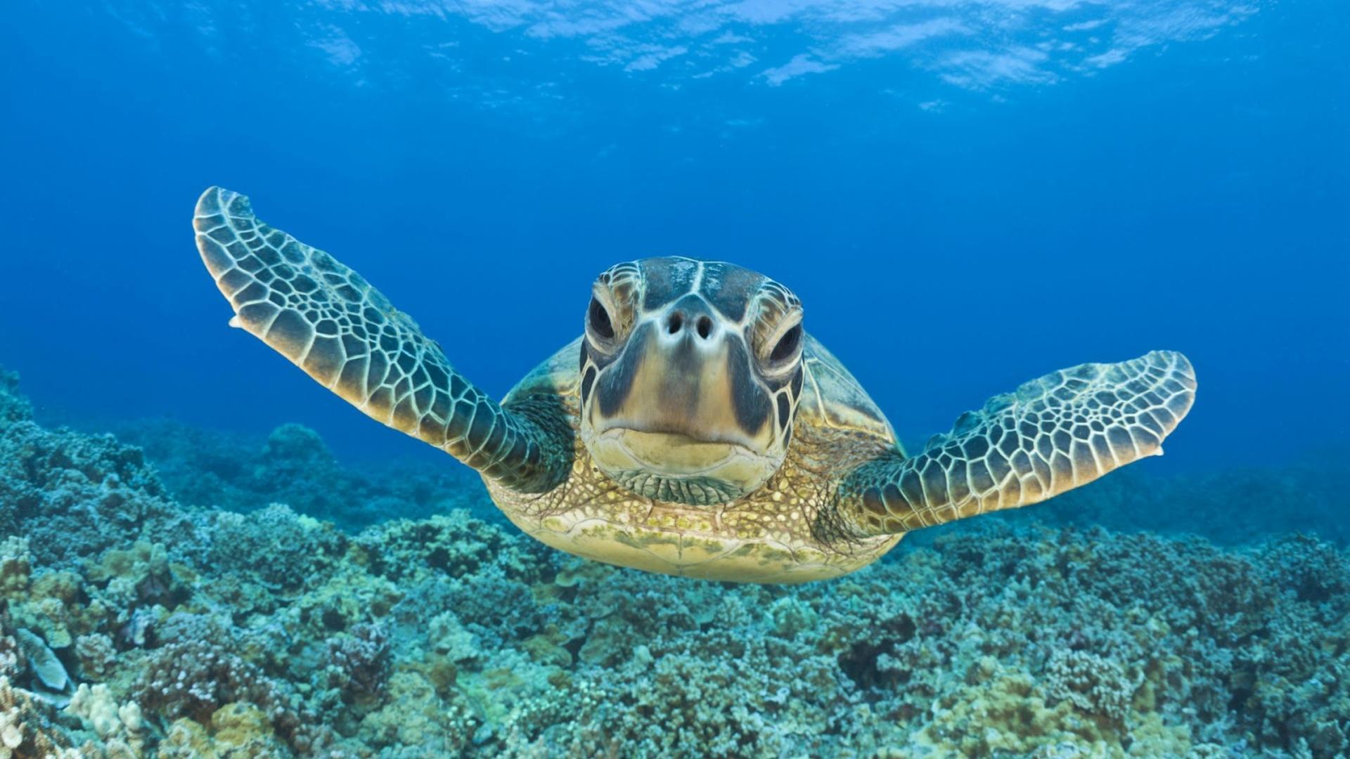 Desktop Wallpapers Turtle Swimming Underwater Hd Animal Wallpaper 1920x1080
