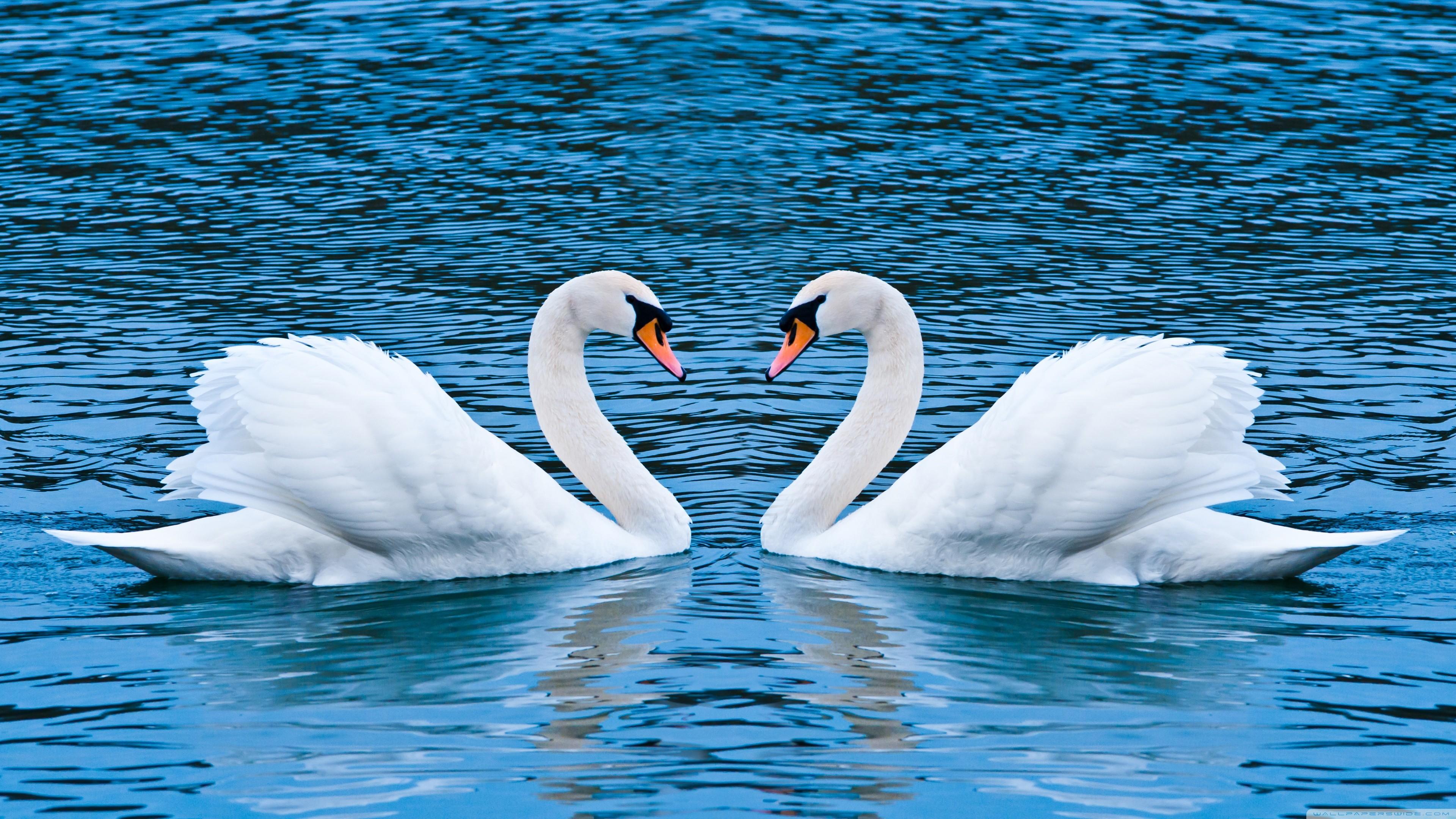Swan Computer Wallpapers Desktop Backgrounds 3840x2160 ID464227 3840x2160