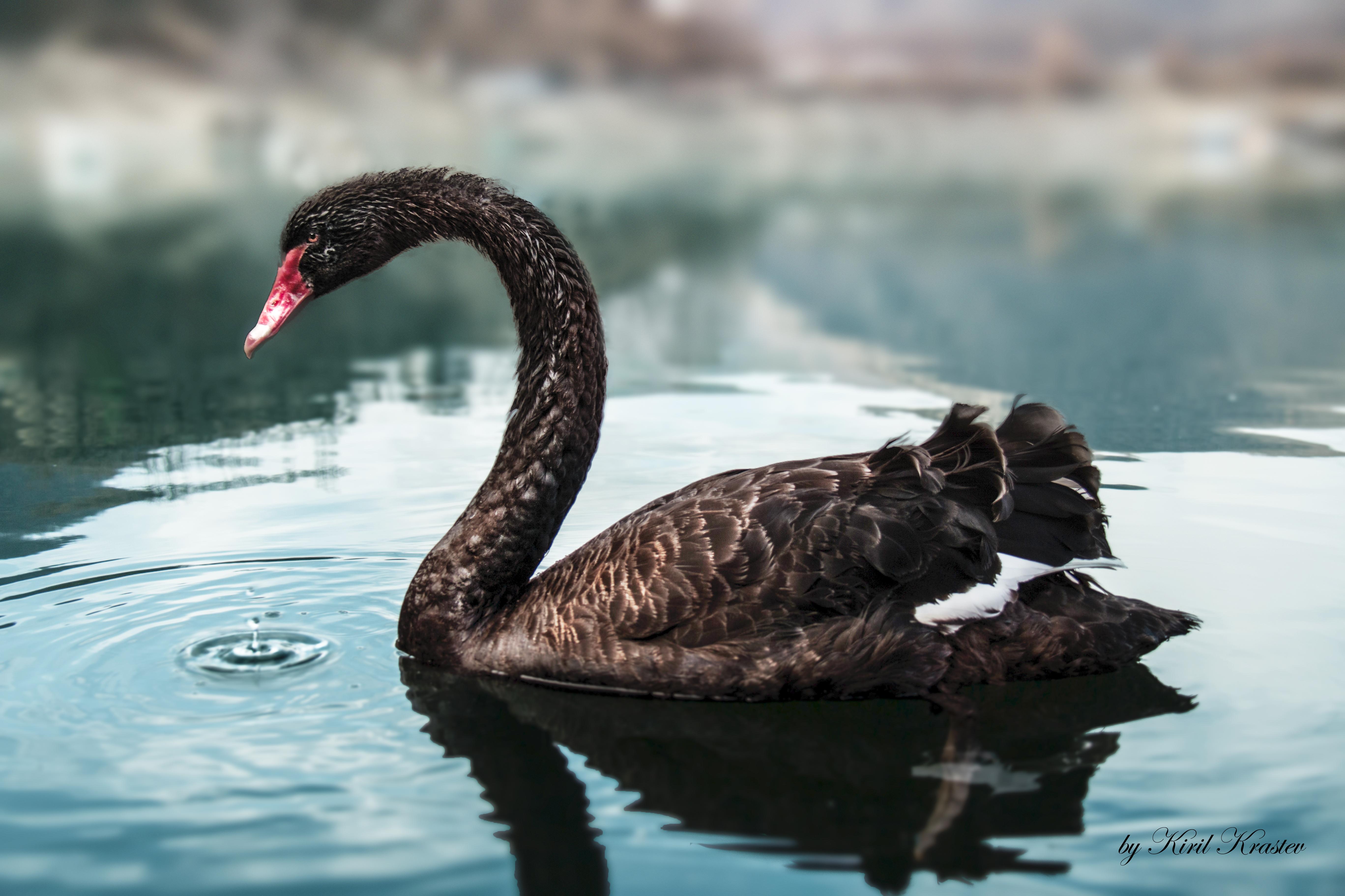 Description Black Swan bgjpg 5472x3648