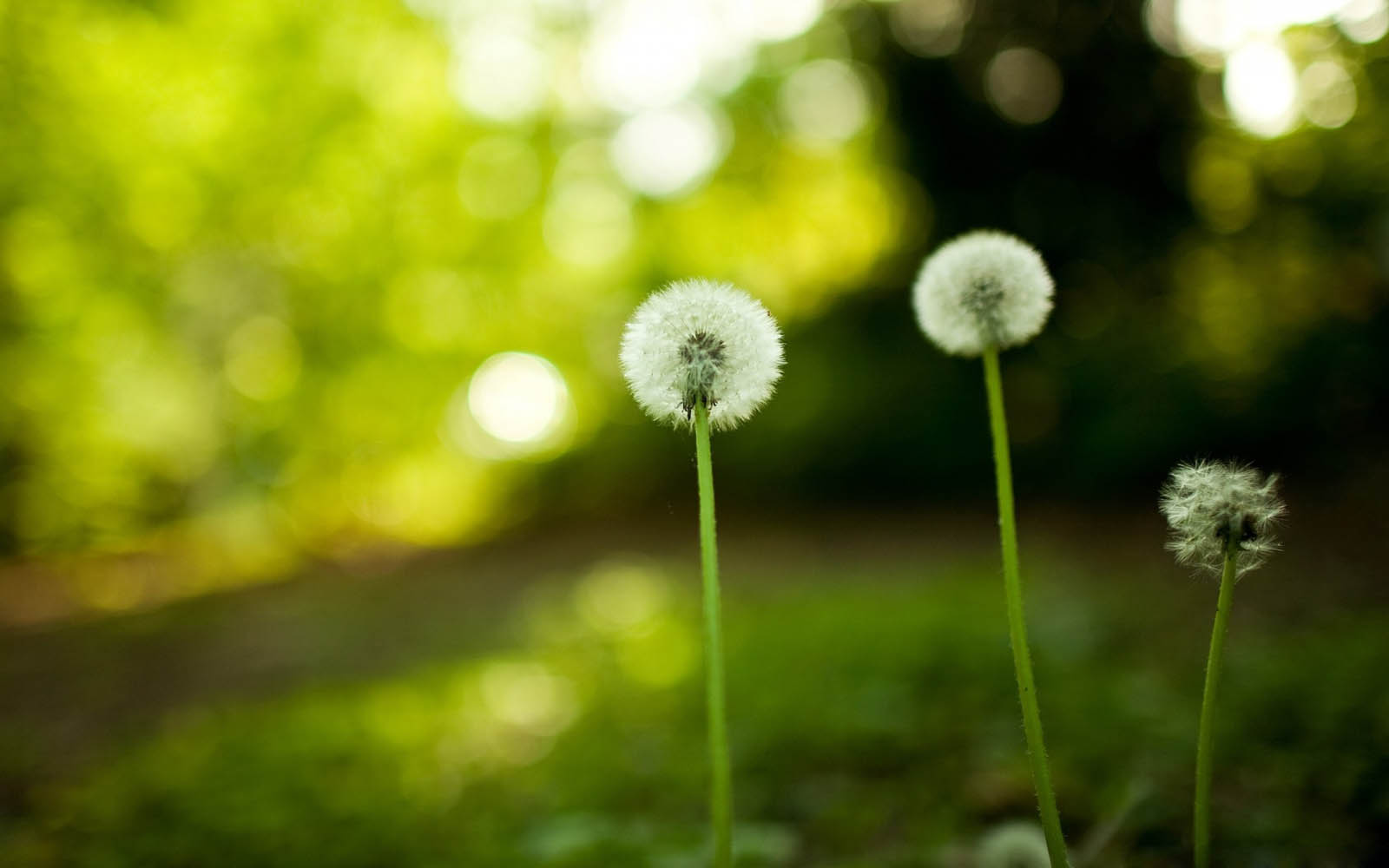Desktop Wallpapers Dandelion Flowers Desktop Backgrounds 1600x1000