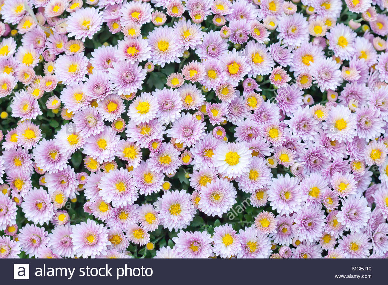 Violet pink yellow chrysanthemum flowers field background Floral 1300x956