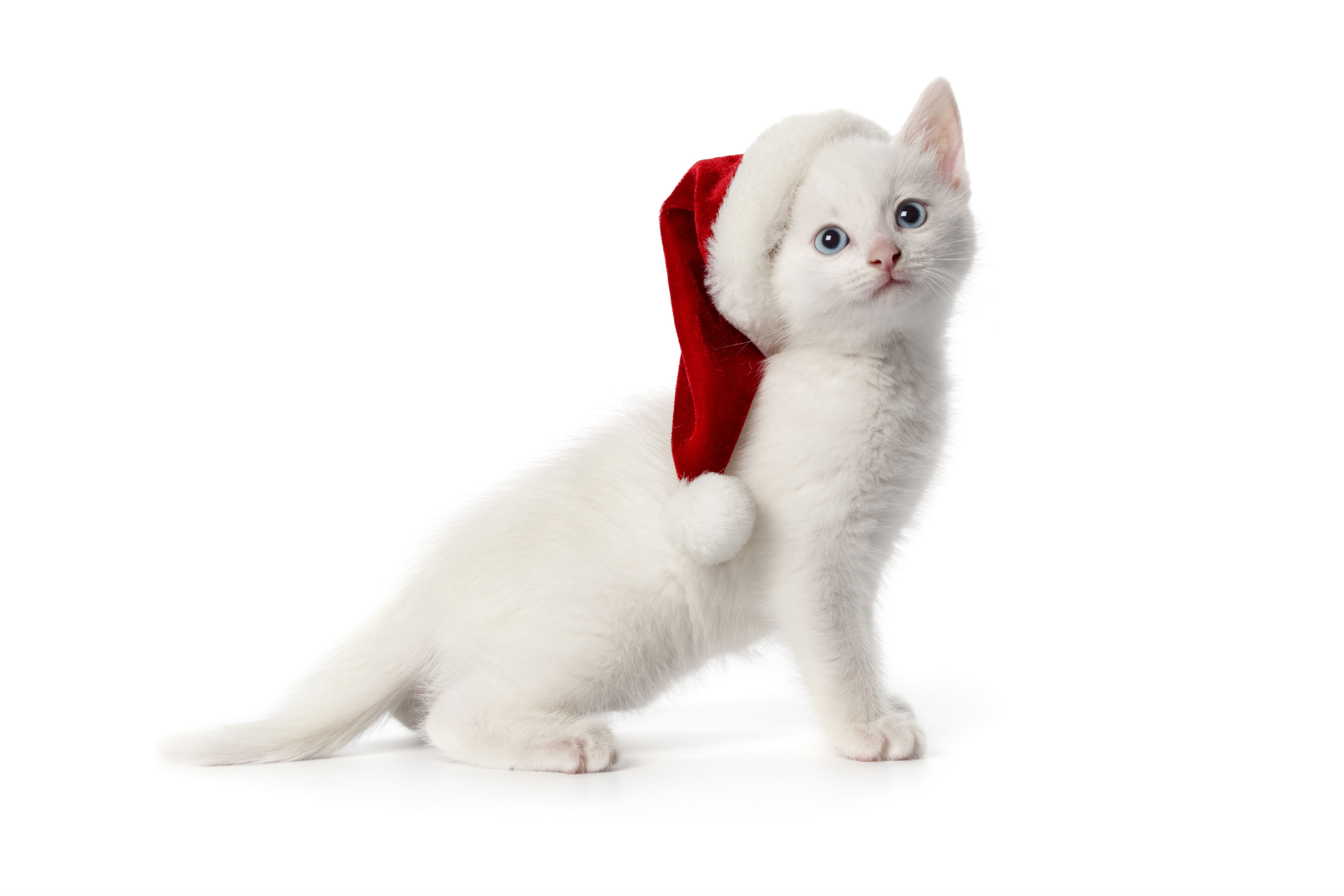 Christmas Wallpaper Cat Cute