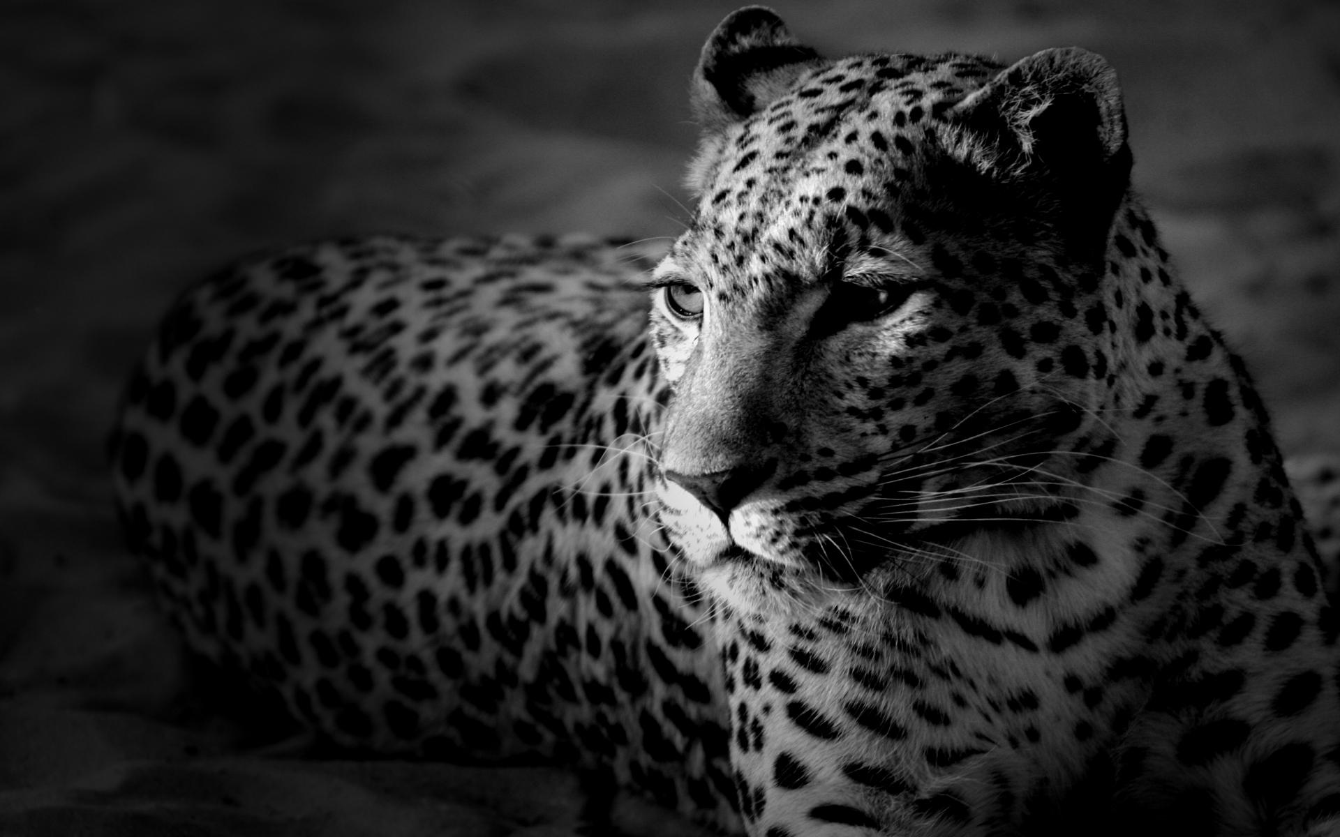 New Leopard Wallpaper Iphone ImageBankbiz 1920x1200