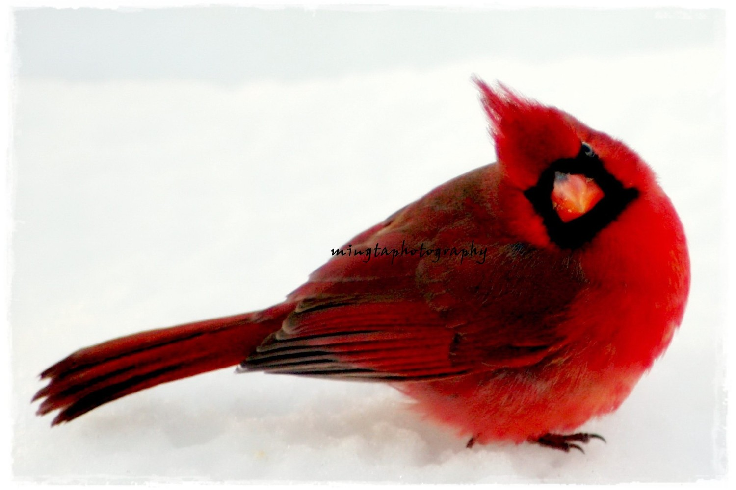 red bird in snow wallpaper wallpapersafari