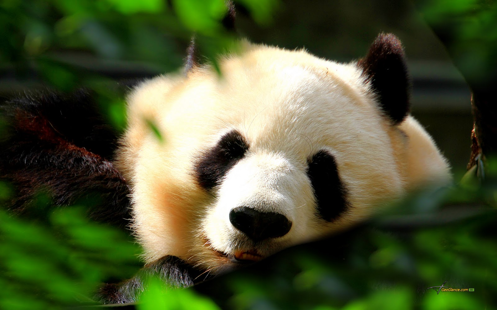 Beautiful Wallpapers panda bear wallpaper 1600x1000