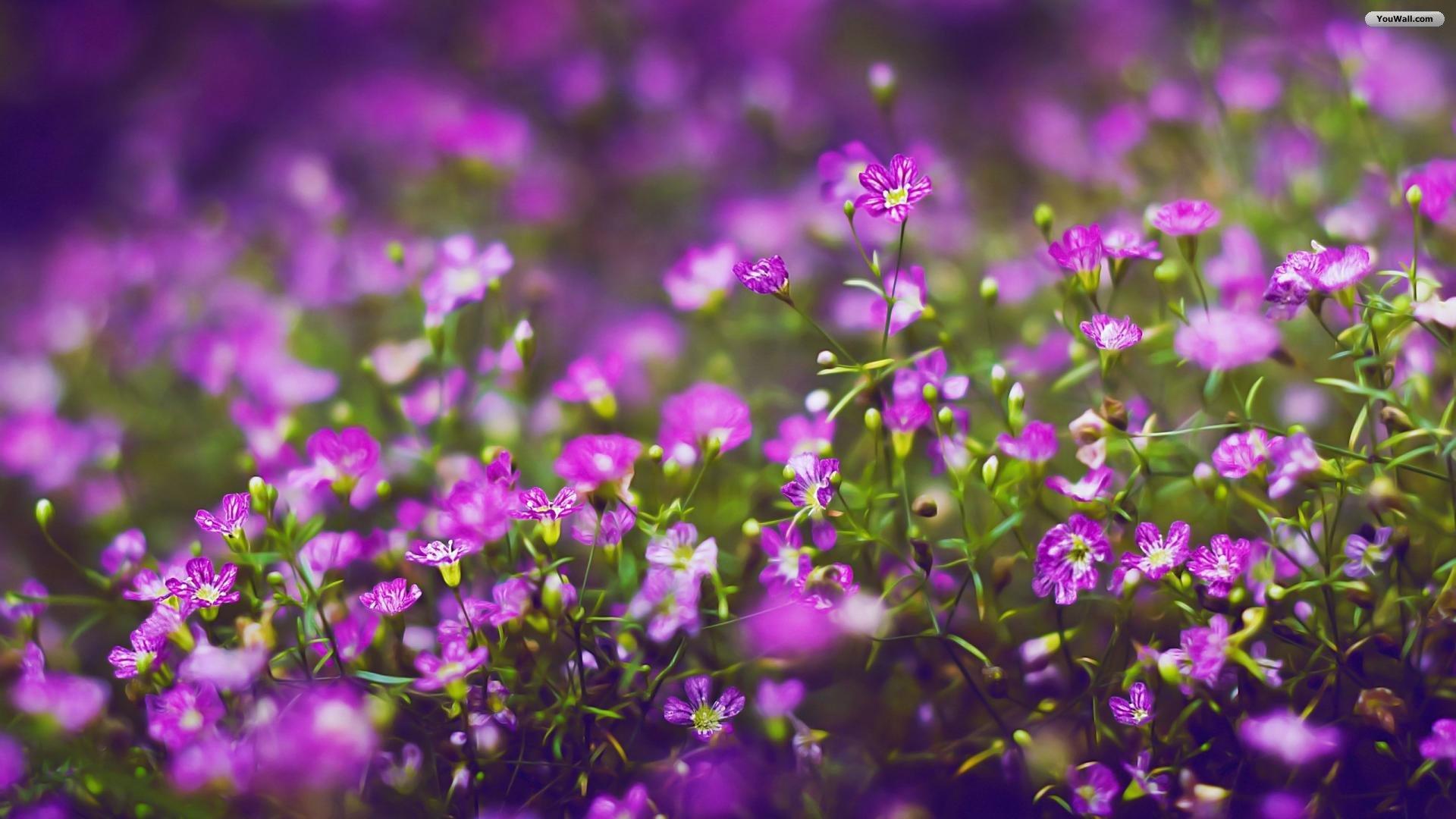 purple flowers wallpaper HD 1920x1080