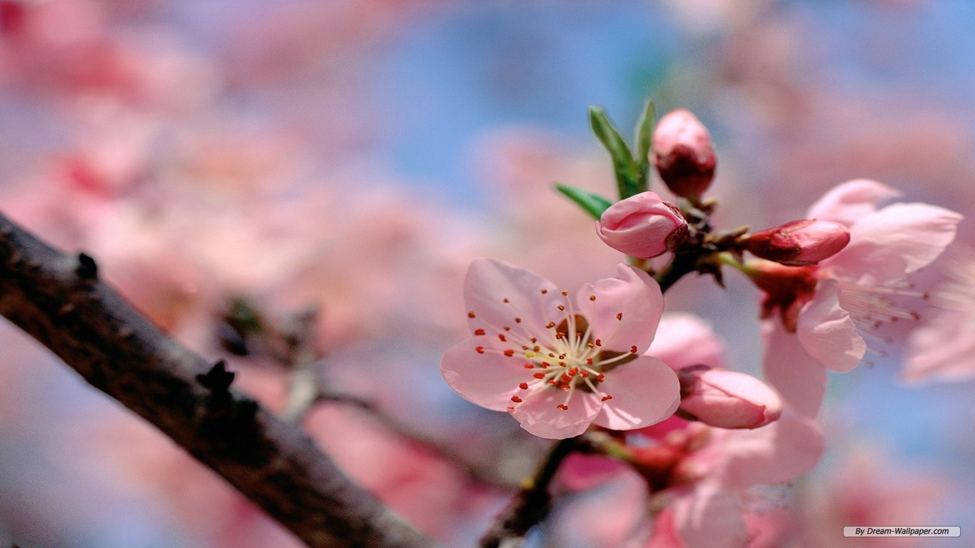 Spring Flower Wallpaper Best Hd Wallpapers 1366x768