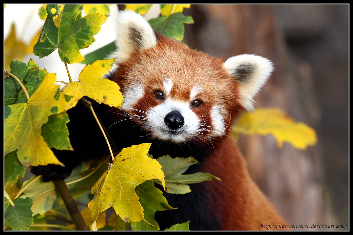 Cute Red Panda Wallpaper Red panda portrait ii by af 1200x800