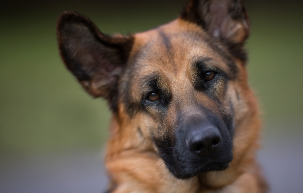 German shepherd shepherd dog dog face eyes portrait wallpapers 596x380