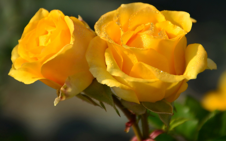 Yellow Rose Flower Wallpaper - WallpaperSafari