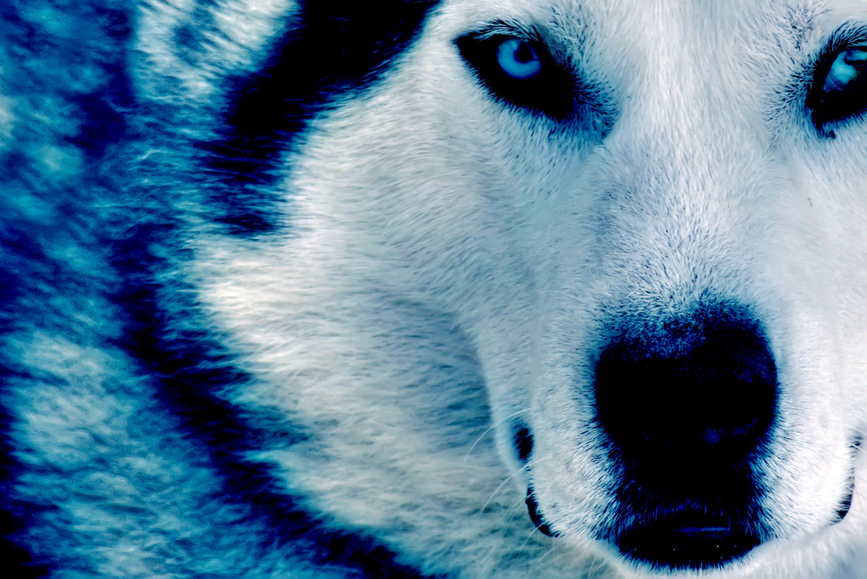 Winter Wolf HD dekstop wallpapers   Winter Wolf 2816x1880