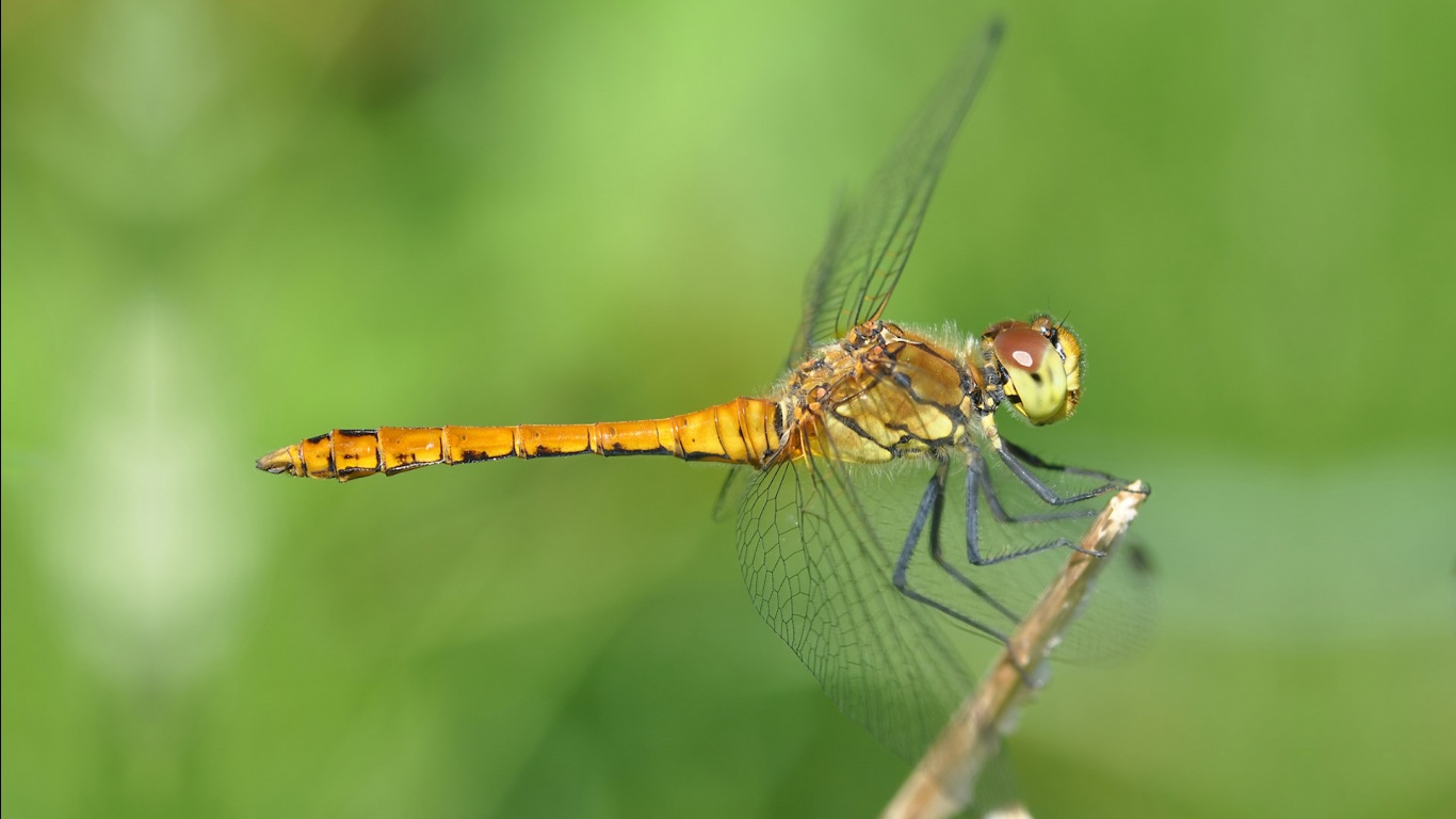 Dragonfly Wallpaper   1366x768 1366x768