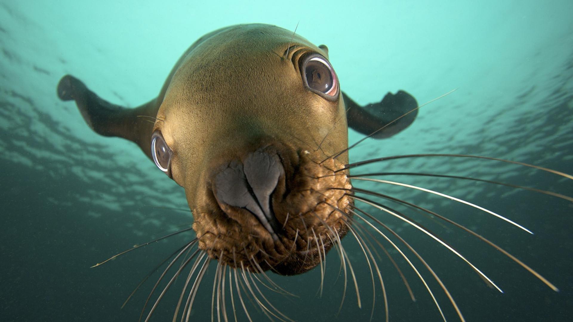 cgi british columbia sea lions underwater view wallpaper 24130 1920x1080