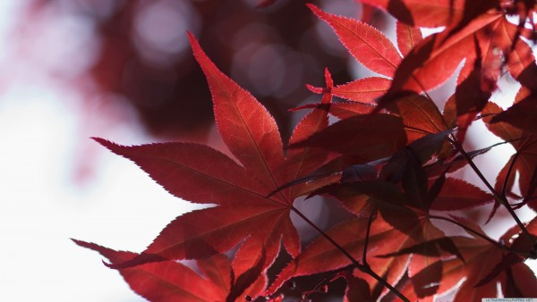 japanese maple leaves spring   Ultra HD 4K Wallpapers   Open your eyes 600x338