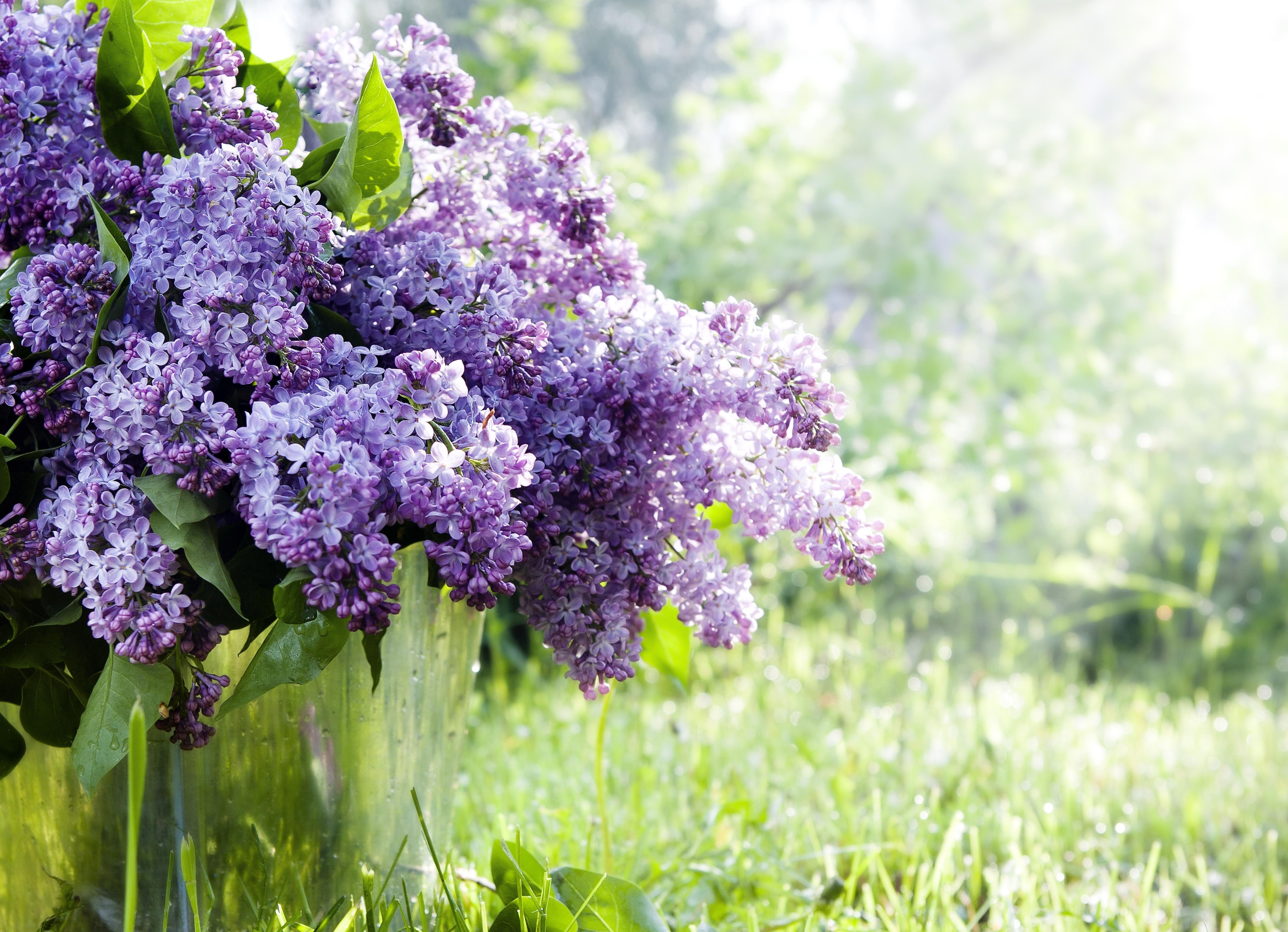 цветы природа сирень  № 2224128 бесплатно