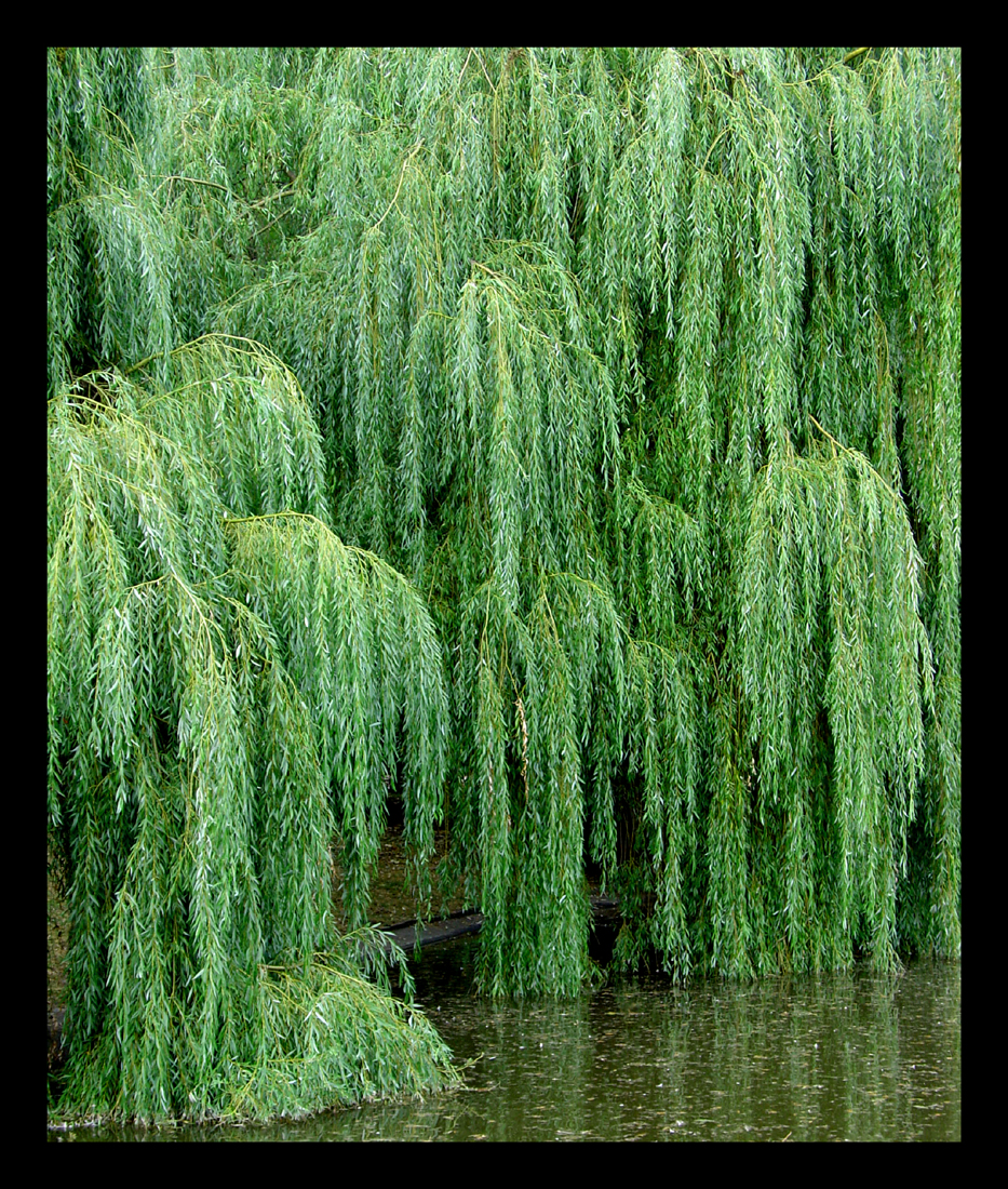 Weeping Willow by mundon 933x1100