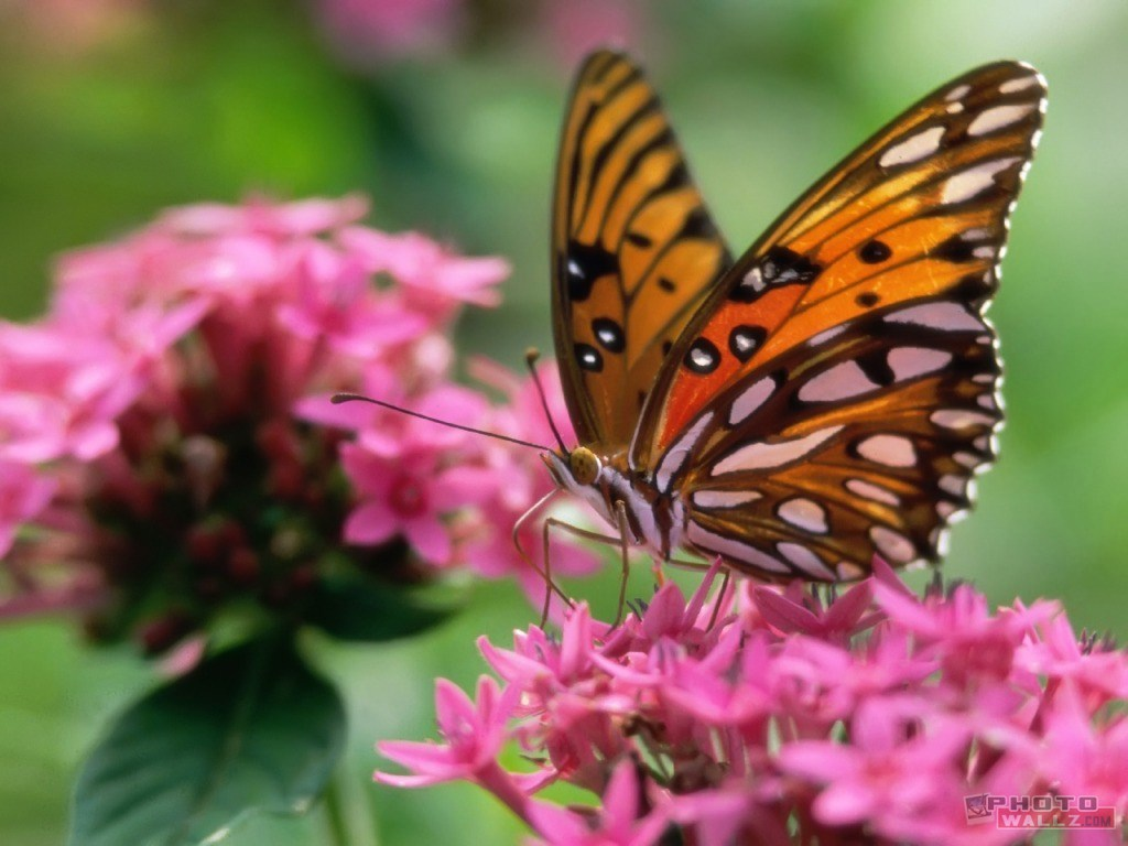 Beautiful Wallpapers For Desktop Beautiful HD Butterfly wallpapers 1024x768