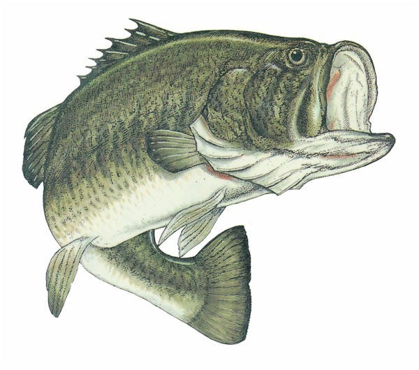 largemouth bass wallpaper 600x530