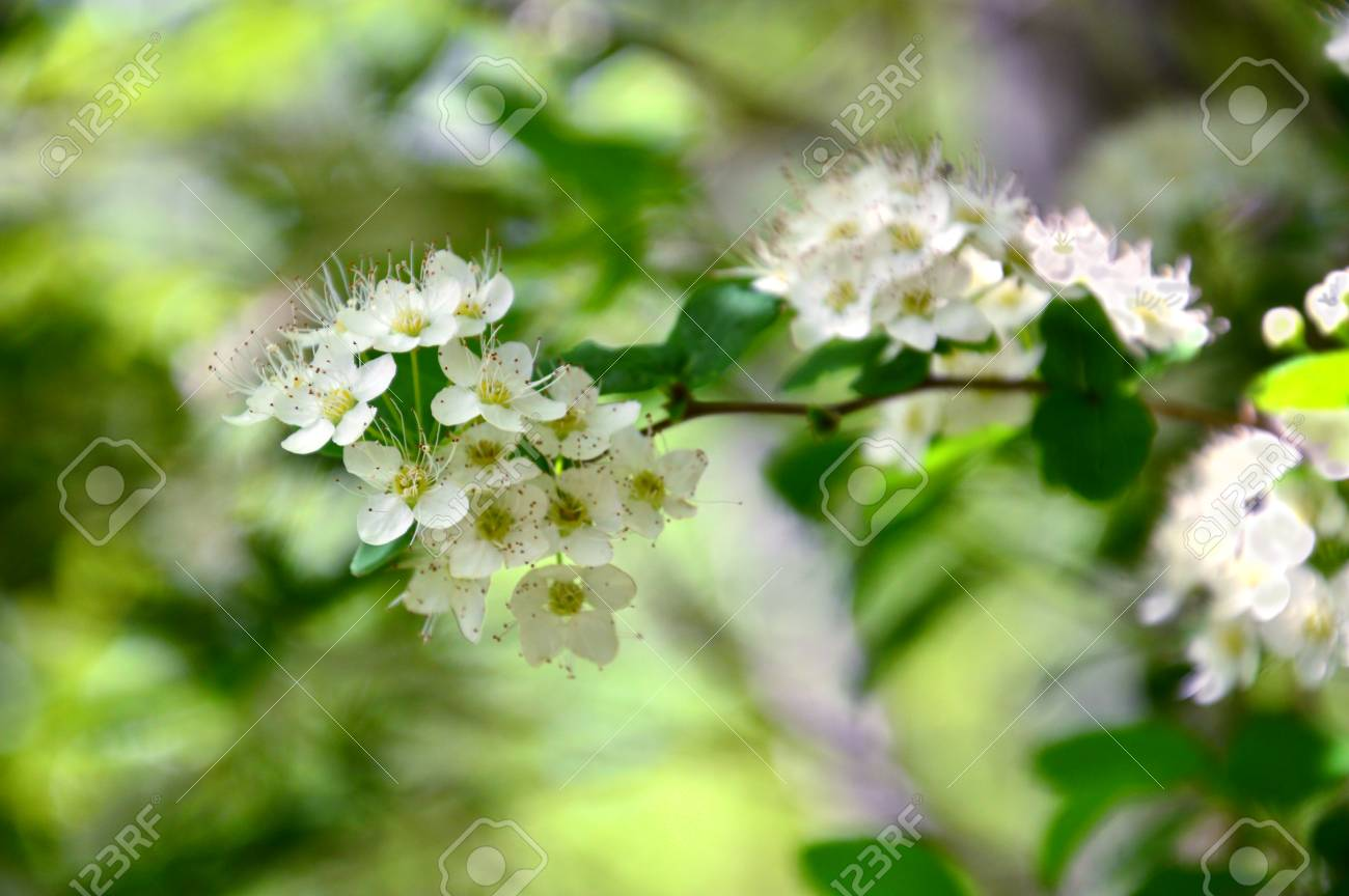 White Flowers Forest Of A Bush On A Green Background Vague Stock 1300x864