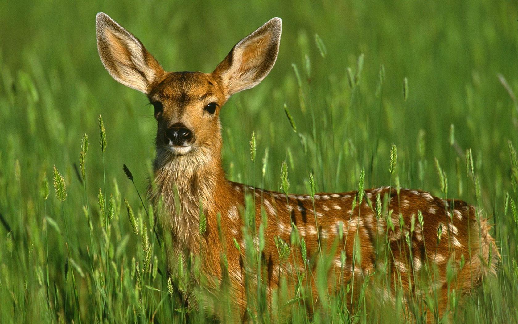free download Deer wallpaper pc Deer Download Deer Hd Image For Pc 1680x1050